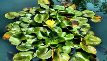 water-lily-53787_1280